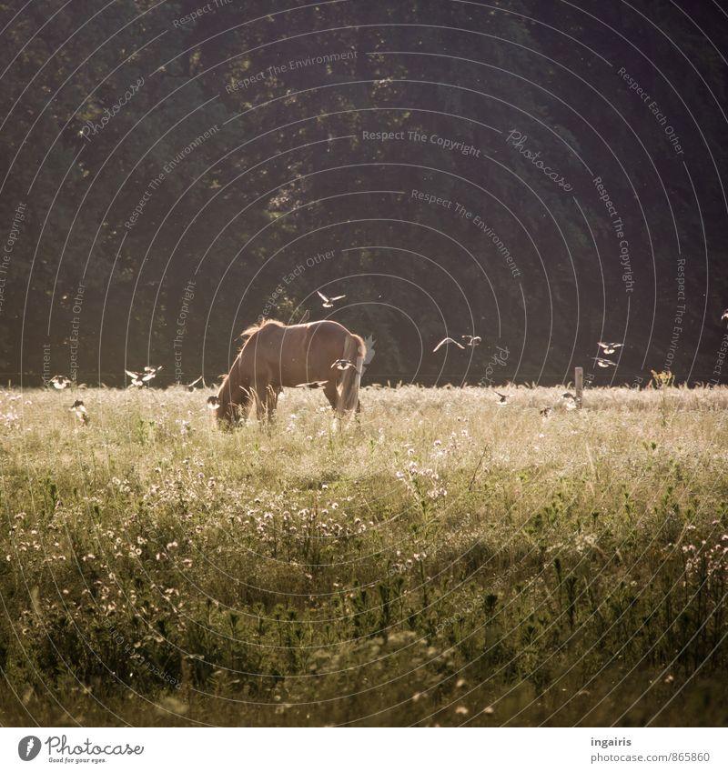 Symbiose Natur Landschaft Pflanze Tier Sommer Gras Feld Pferd Vogel Island Ponys Star 1 Schwarm Bewegung fliegen Fressen stehen Zusammensein braun grün schwarz