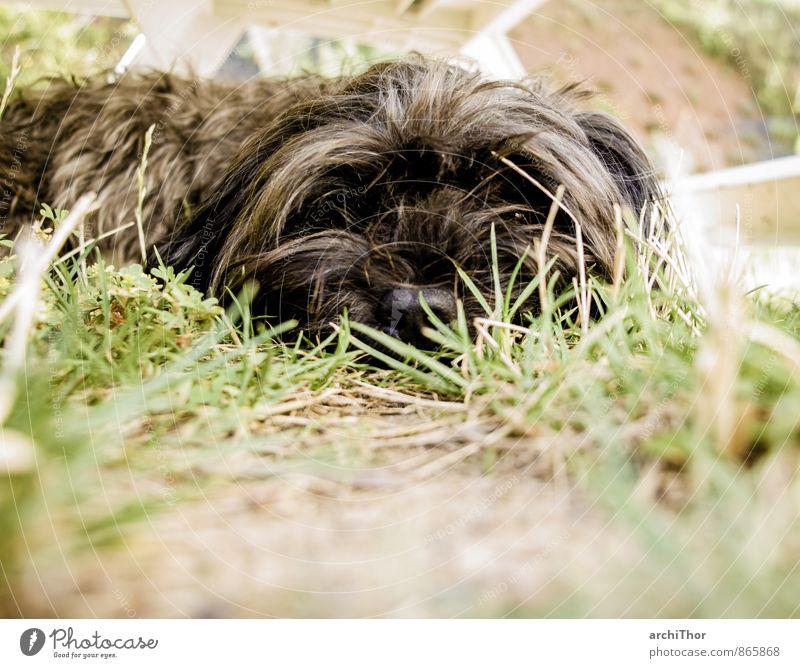 la dolce vita Garten Sommer Gras Tier Haustier Hund 1 schlafen braun grün schwarz Müdigkeit Trägheit Entschleunigung Farbfoto Gedeckte Farben Außenaufnahme