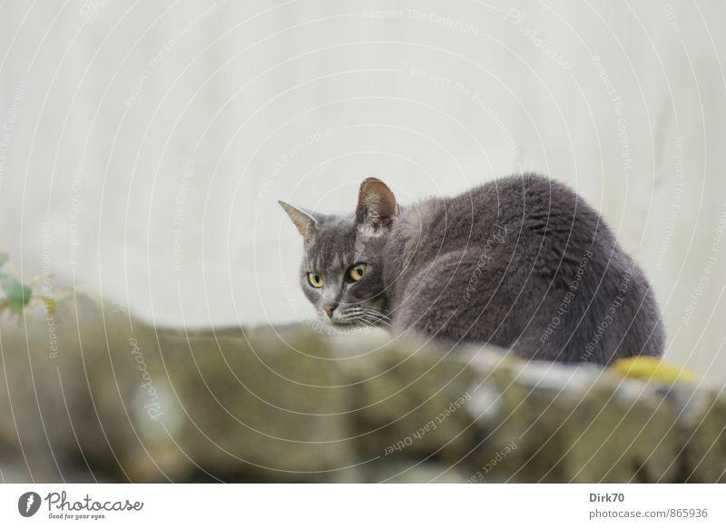 Auf der Mauer, auf der Lauer, ... Moos Garten Wand Mauerreste Steinmauer Tier Haustier Katze Hauskatze Landraubtier 1 Beton Jagd sitzen kalt gelb grau grün Mut