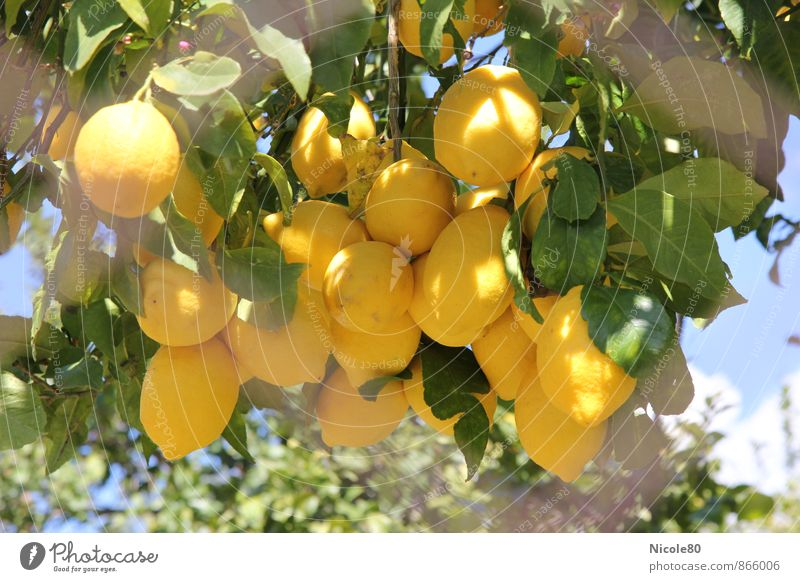 Zitronen hinterm Zaun Sommer Baum Umwelt gelb Frucht frisch Mallorca Zitrone sauer Obstbaum