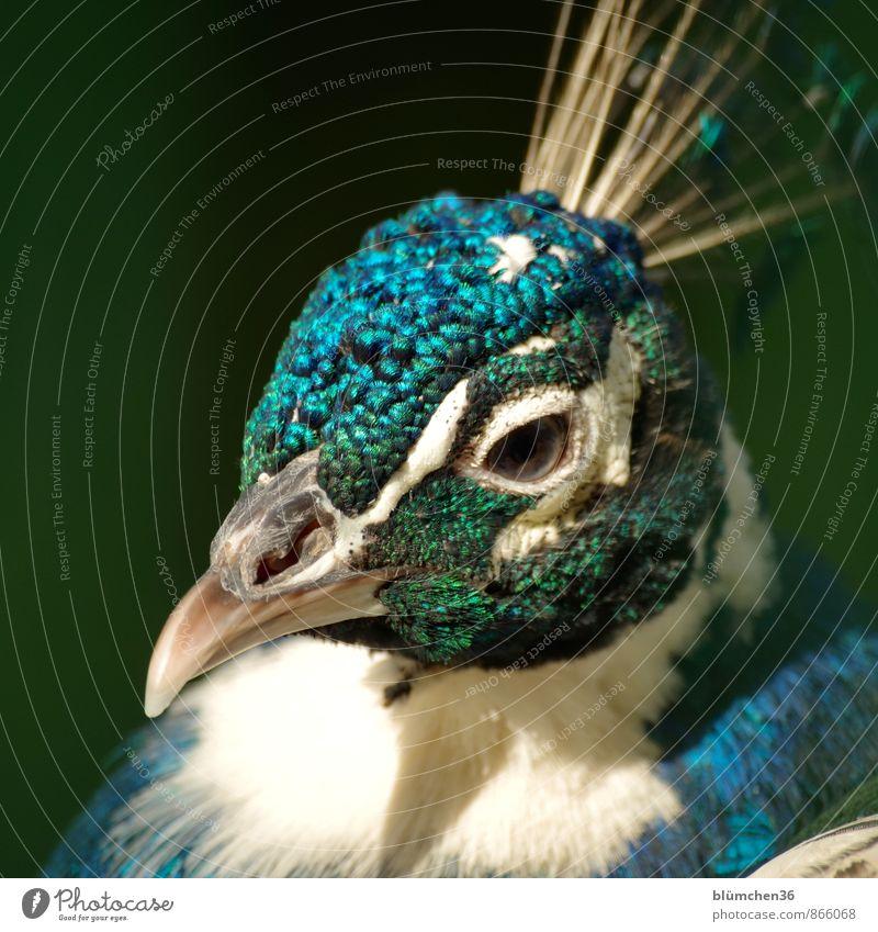 Liebe Grüße zum Geburtstag glückimwinkl! blau schön grün weiß Auge Vogel Kopf glänzend elegant Wildtier ästhetisch Feder beobachten türkis Tiergesicht exotisch