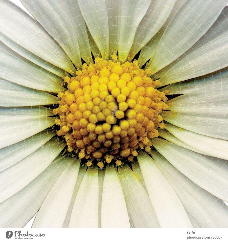 Blümchen Blume Frühling Blüte Gänseblümchen Pollen Blütenblatt Lupe vergrößert