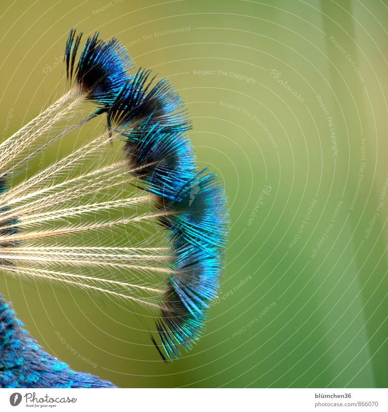 Irokese blau schön grün Tier natürlich Vogel glänzend Kopf elegant Wildtier Feder ästhetisch weich zart türkis exotisch