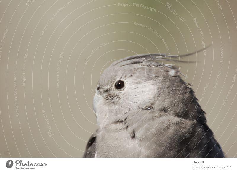 Sittich-Sitting Natur Tier Schönes Wetter Haustier Vogel Papageienvogel 1 beobachten glänzend Blick sitzen exotisch hell schön grau grün schwarz weiß