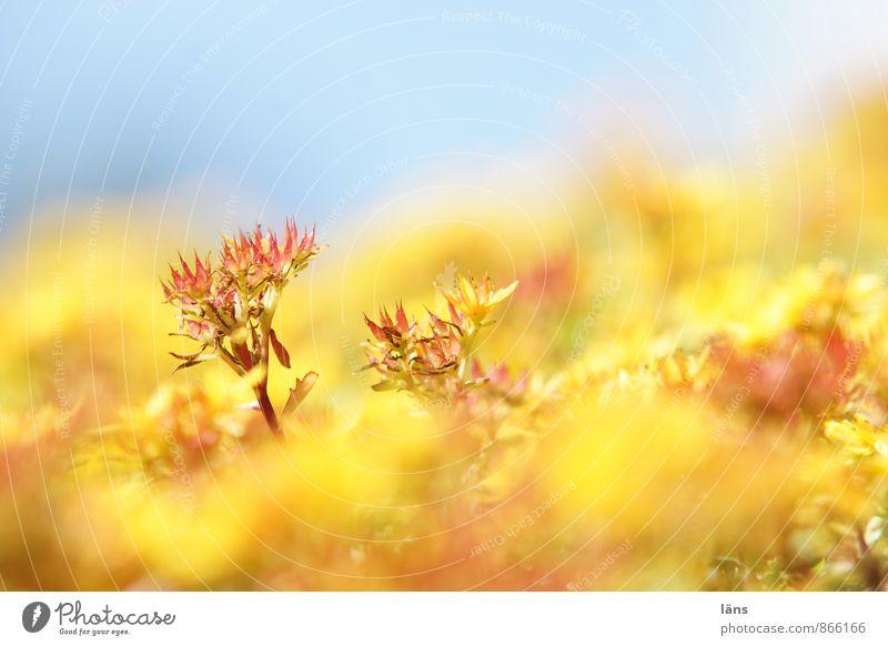 gelb ist das neue grün Natur Pflanze Himmel Sommer Blume Blüte Grünpflanze Wildpflanze Dach Blühend Wachstum blau nachhaltig Sukkulenten Serum Grünfläche