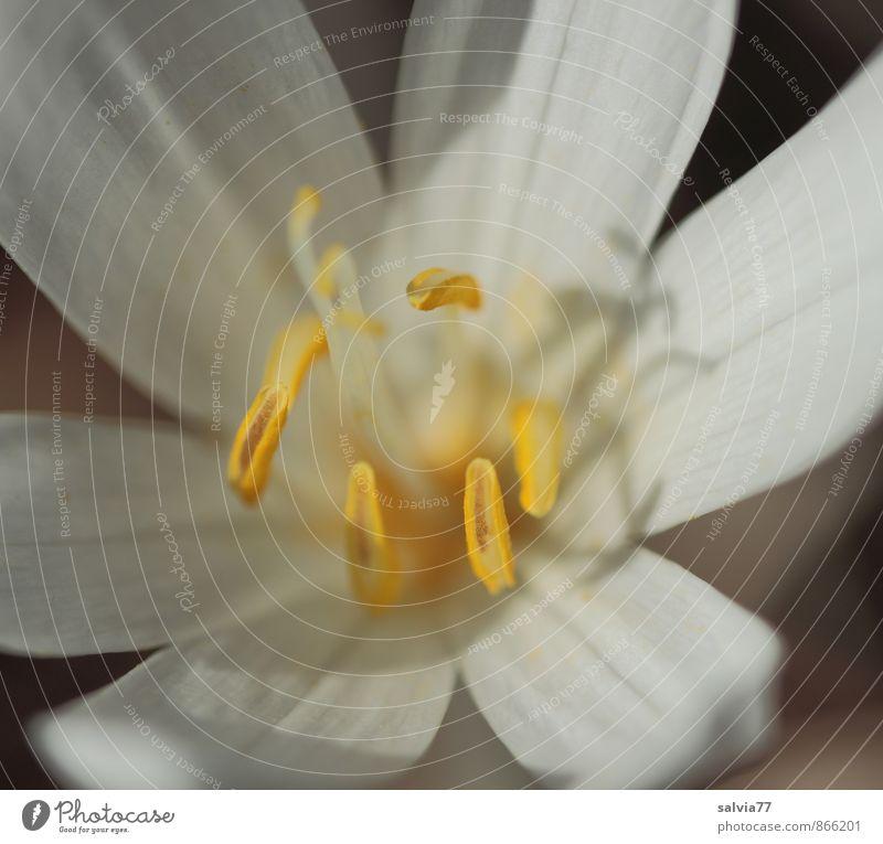Giftblüte Gesundheitswesen Rauschmittel Natur Pflanze Sommer Herbst Blume Blüte Wildpflanze Duft leuchten ästhetisch schön gelb weiß bedrohlich Umwelt
