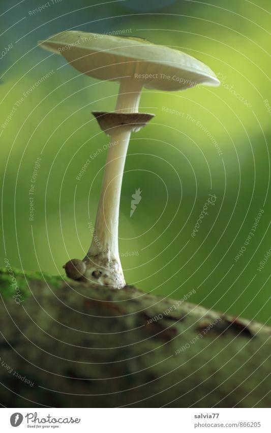 Pilz Model Umwelt Natur Pflanze Erde Sommer Herbst Moos Wildpflanze Pilzhut Wald genießen stehen Wachstum dunkel dünn einfach elegant klein lecker nah natürlich