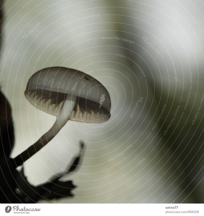 Hanglage Umwelt Natur Pflanze Erde Herbst Pilz Pilzhut Wald Wachstum dünn Ekel klein schleimig grau schwarz weiß Einsamkeit ruhig Beringter Buchenschleimrübling