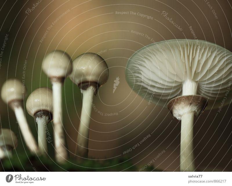 Pilzfamilie Lebensmittel Natur Pflanze Erde Herbst Wildpflanze Wald stehen Wachstum dunkel dünn Ekel Gesundheit natürlich schleimig weich braun grau genießen