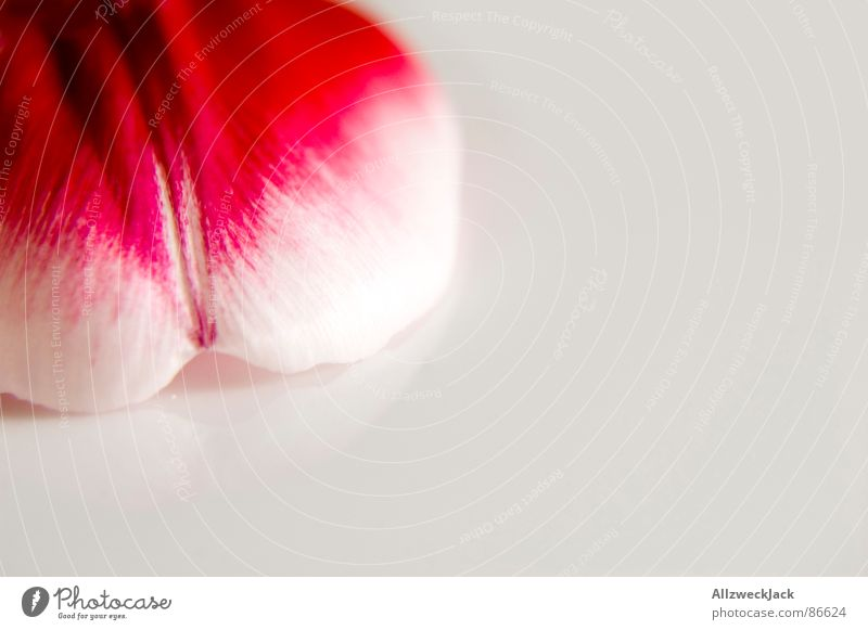 Ein Stück Tulpe Natur schön Pflanze rot Gefühle Blüte Frühling rosa frisch Romantik Dekoration & Verzierung zart gemalt Blütenblatt heimelig