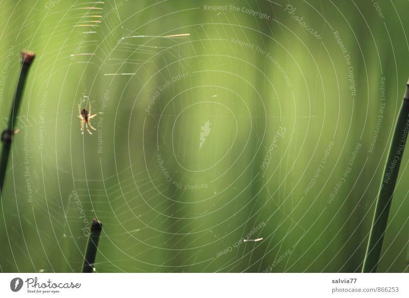 Netzwerk Natur Pflanze Tier Sommer Wald Urwald Wildtier Spinne 1 beobachten Jagd krabbeln warten Ekel exotisch gruselig klein listig natürlich grün geduldig
