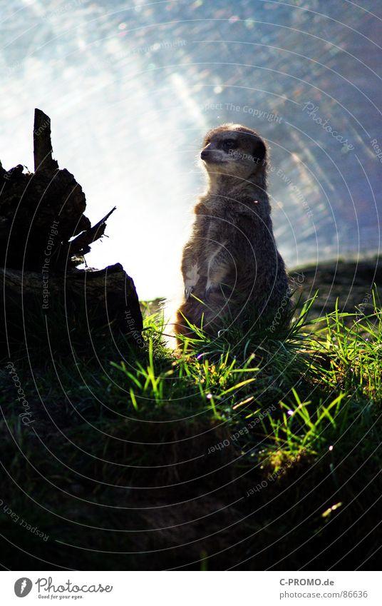 King of the Land Savanne Halbwüste Meerkatzen Erdmännchen Manguste Afrika Fell Gras Vorgesetzter Blick Zukunft Tier Säugetier Zoo Südafrika Alarm grün