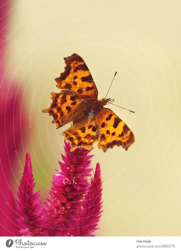 Naturschönheit Umwelt Pflanze Tier Frühling Sommer Blume Garten Wiese Schmetterling Insekt 1 exotisch braun orange rosa Lebewesen ungefährlich frei