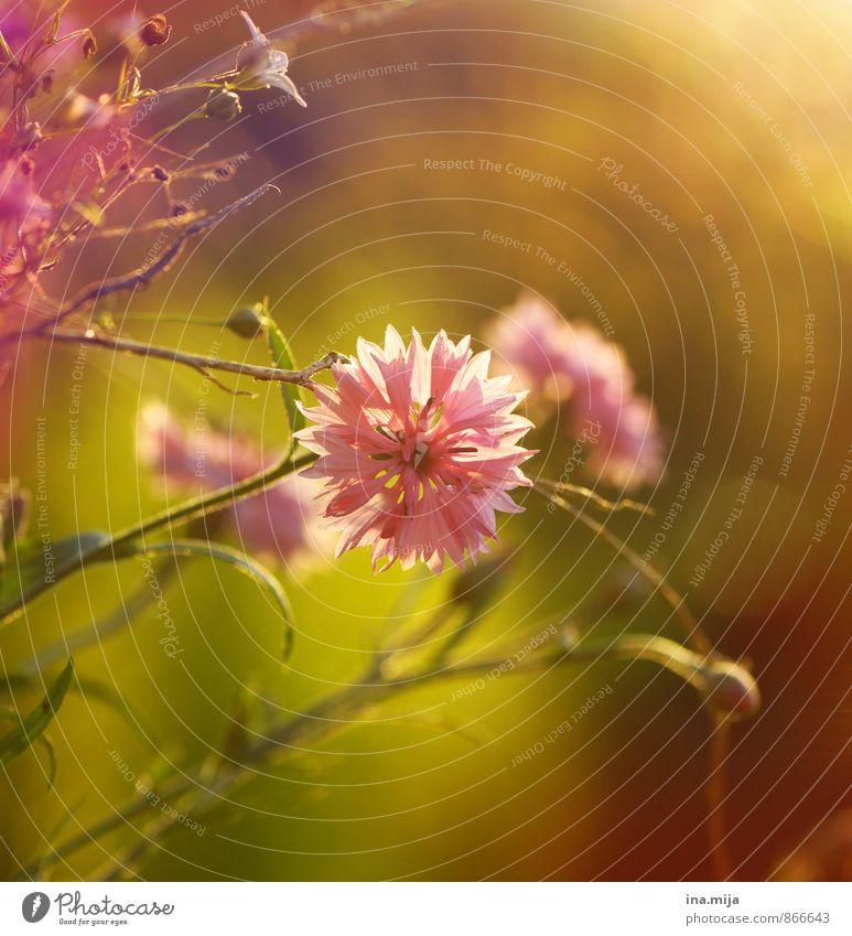 Spätsommerduft Umwelt Natur Pflanze Sommer Schönes Wetter Blume Blüte Garten Park Wiese Idylle Nostalgie stagnierend Stimmung rosa zentral Pflanzenteile