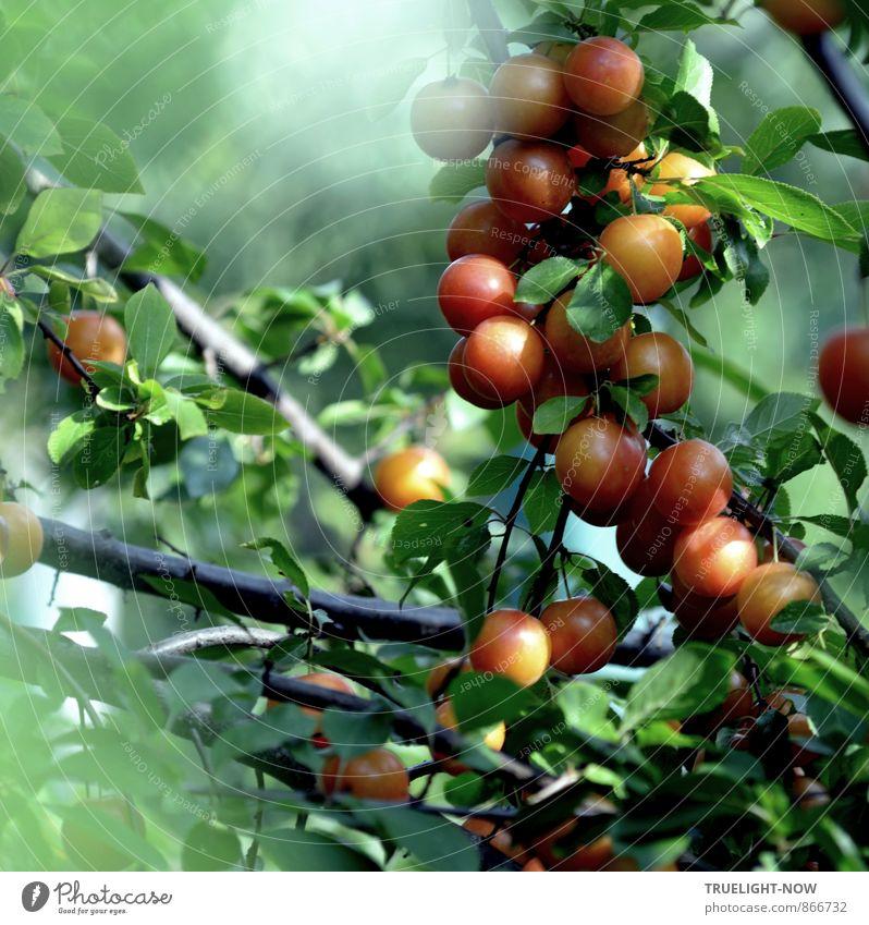Mirabellen am Morgen Natur Pflanze schön grün Sommer Baum rot Blatt schwarz gelb Gesundheit Garten braun orange Frucht Nebel