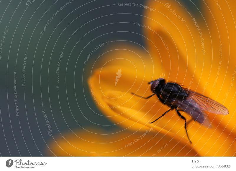 Fliege Natur Pflanze schön Sommer ruhig Tier schwarz Blüte Frühling orange elegant Idylle Zufriedenheit Fliege authentisch ästhetisch