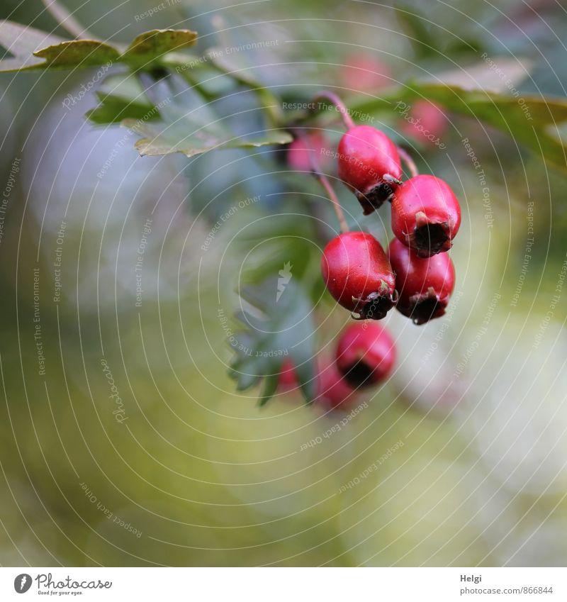 Herbstfrüchte Umwelt Natur Pflanze Schönes Wetter Baum Blatt Wildpflanze Weissdorn Beeren Fruchtstand Zweig Wald hängen Wachstum ästhetisch frisch klein