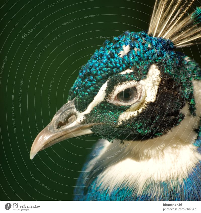 Federvieh blau schön grün weiß Tier Auge Vogel glänzend Kopf elegant Wildtier ästhetisch beobachten türkis Tiergesicht