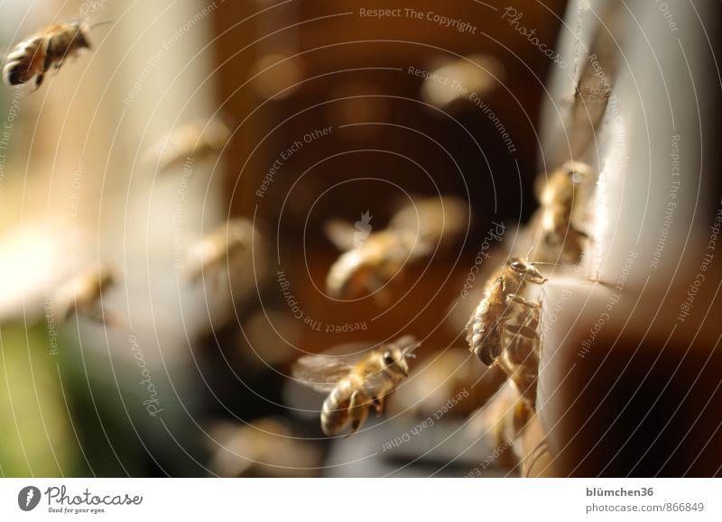 Sie streiken nie! Tier Nutztier Wildtier Biene Honigbiene Insekt Schwarm fliegen tragen ästhetisch schön klein Arbeit & Erwerbstätigkeit Tierliebe Tierlaute