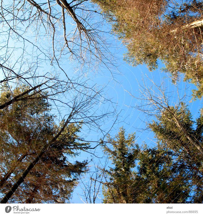 Himmel auf Erden 2 Nadelbaum Wald himmelblau Geometrie Laubbaum Perspektive Nadelwald Waldwiese Paradies Waldlichtung Revier Topologie Linie stürzende linien