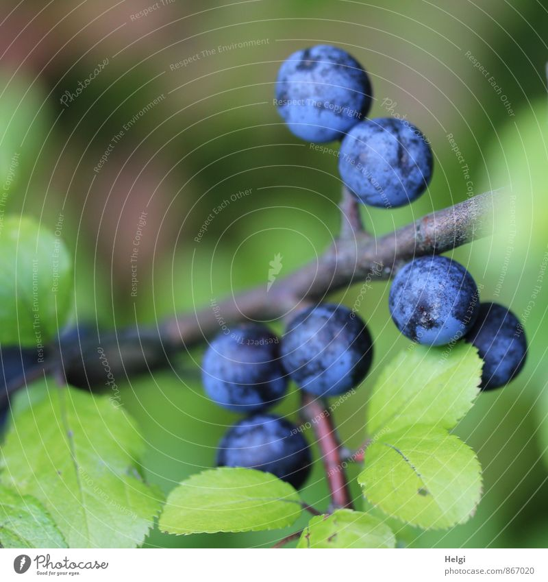 Schlehen... Umwelt Natur Pflanze Sommer Sträucher Blatt Wildpflanze Frucht Beeren Schlehenblatt Zweig Wachstum einfach frisch klein natürlich rund blau braun