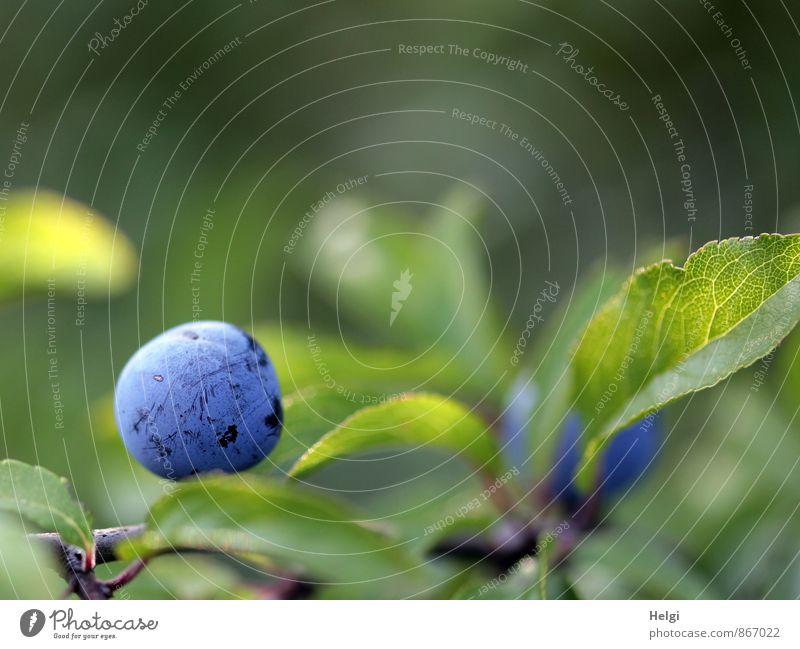 einzeln... Frucht Umwelt Natur Pflanze Sommer Schönes Wetter Sträucher Blatt Wildpflanze Schlehen Schlehenblatt Beeren Fruchtstand Wachstum ästhetisch frisch