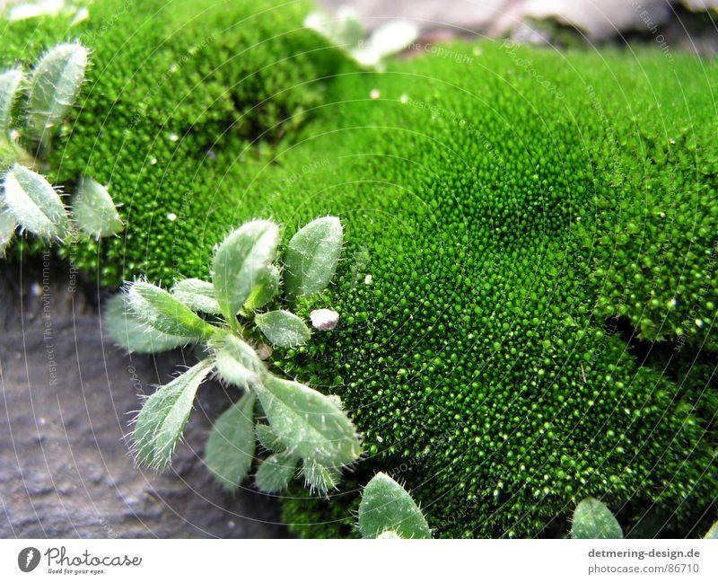 close up moos Nahaufnahme grün Design Kunst grau frisch Pflanze Pflanzenteile Naturphänomene Umwelt Neuling moosgrün Klarheit Stein Bodenbelag Schatten Dynamik