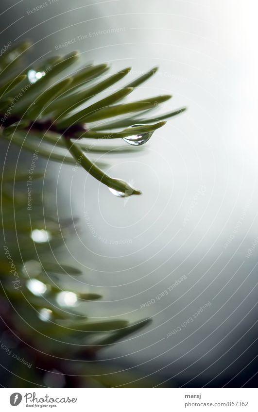 Nasse Spitzen Natur Pflanze grün Baum dunkel kalt Traurigkeit Gefühle natürlich Stimmung träumen glänzend Nebel trist authentisch Wassertropfen