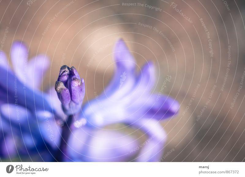 Das dauert noch ein wenig Leben Zufriedenheit Erholung ruhig Natur Pflanze Frühling Blume Blüte Nutzpflanze Hyazinthe Blütenknospen Blühend Duft leuchten