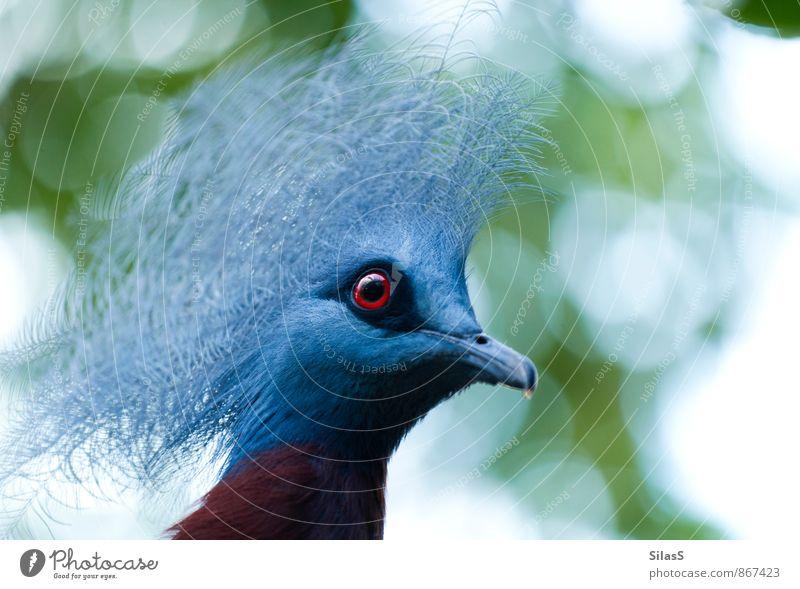 Krontaube Auge Natur Himmel Pflanze Baum Tier Vogel Tiergesicht 1 ästhetisch exotisch blau grau grün rot weiß Farbfoto Außenaufnahme Menschenleer Tag