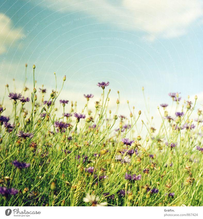 Der Sommer darf noch bleiben... Umwelt Natur Landschaft Pflanze Wolken Blume Sträucher Grünpflanze Nutzpflanze Feld Blühend Wachstum blau grün violett