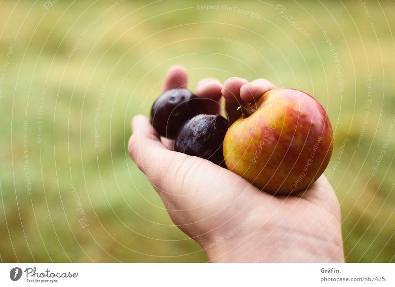 Autumn is coming... Frucht Apfel Pflaume feminin Junge Frau Jugendliche Hand Finger 1 Mensch 30-45 Jahre Erwachsene Umwelt Natur Sommer Herbst festhalten