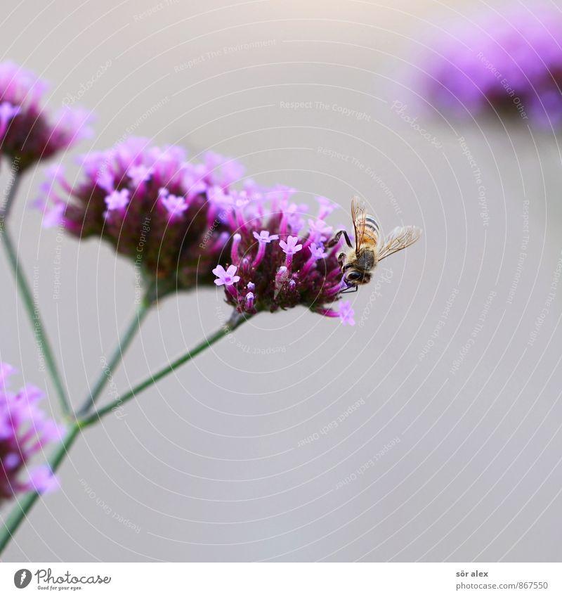 summ, summ, summ Umwelt Pflanze Blume Blüte Garten Park Tier Biene Insekt grau violett rosa Frühlingsgefühle Honigbiene Leben Lebenskraft Jahreszeiten Imker