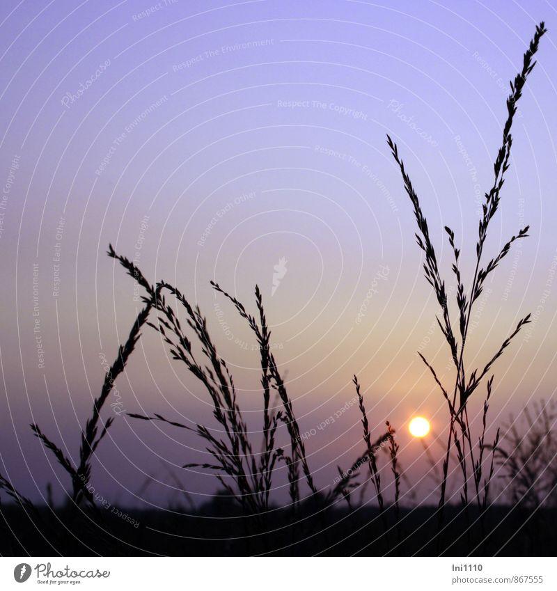 Sommerabend Landschaft Pflanze Himmel Sonne Sonnenlicht Wärme Gras Grünpflanze Wildpflanze Feld Moor Sumpf außergewöhnlich natürlich gelb violett rosa schwarz