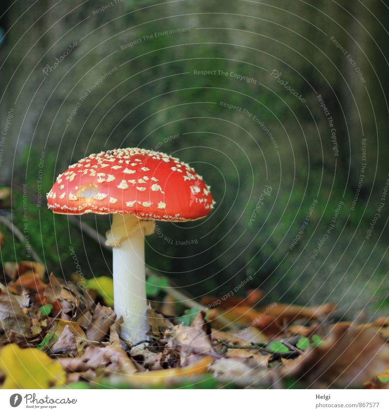 giftig... Umwelt Natur Herbst Pilz Fliegenpilz Blatt Waldboden stehen Wachstum ästhetisch schön natürlich braun grün rot weiß ruhig standhaft Einsamkeit