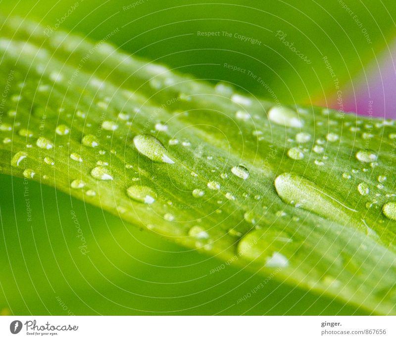Sommerfrische Natur Pflanze Wasser Wassertropfen Blatt Grünpflanze grün rosa Tropfen Erfrischung Regenwasser diagonal laufen Verschiedenheit viele geschwungen