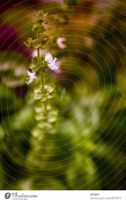 Westfälisches Pflänzchen Natur Pflanze Blume klein schön Blatt Stengel diffus Blick nach oben grün rosa braun 1 rund Wachstum Blühend purpur Gartenpflanzen