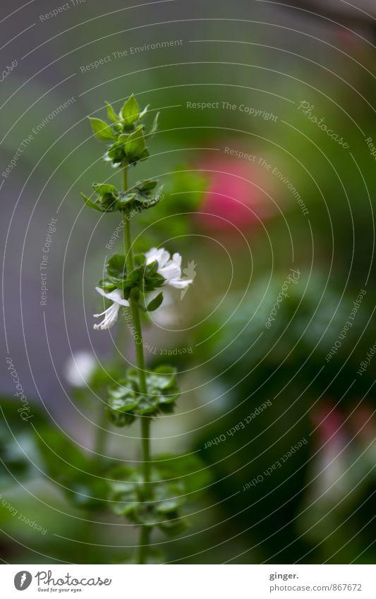 Happy Birthday Photocase | Basilikumblümchen Natur Pflanze Sommer Grünpflanze Nutzpflanze Garten Blühend Wachstum Kräuter & Gewürze Aussaat Blüte klein grün