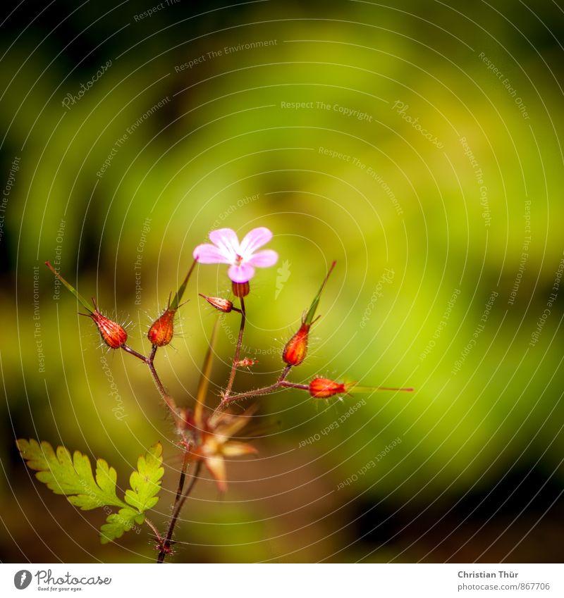Wildblumen Natur Ferien & Urlaub & Reisen Pflanze schön grün Sommer Erholung rot Blume Umwelt Leben Wiese natürlich rosa wild ästhetisch