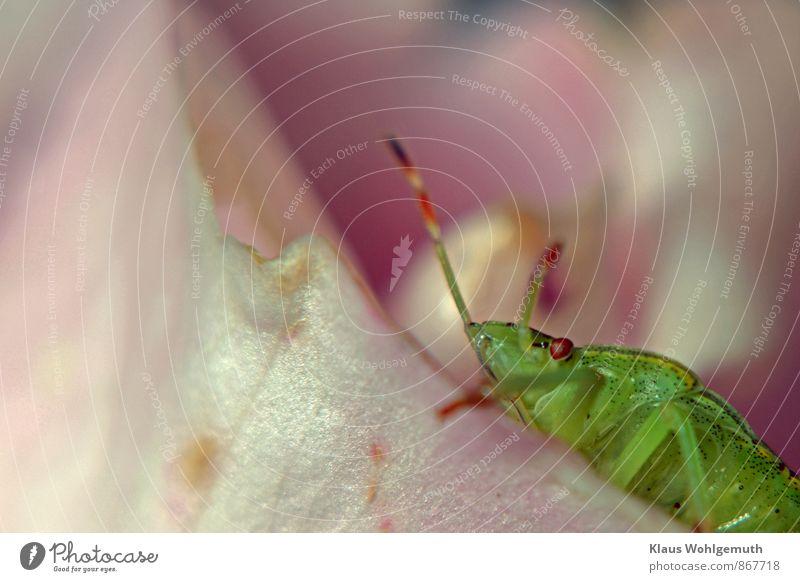 Bug Umwelt Natur Tier Sommer Pflanze Rose Garten Park Wiese Feld Wald Käfer Baumwanze Grüne Blattwanze 1 krabbeln grün rosa Komplexauage Facettenauge Fühler