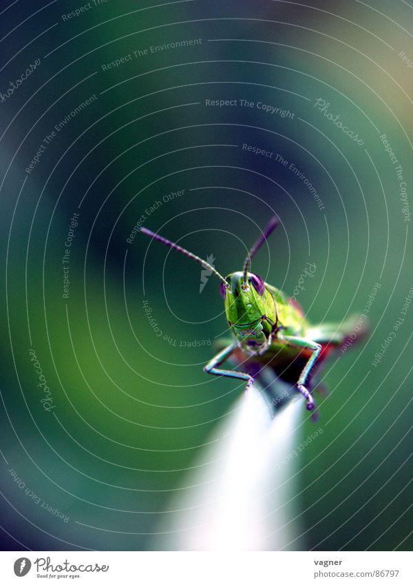 Heuschreke Heuschrecke Sommer Gras Insekt grün Makroaufnahme Umwelt Nahaufnahme Wiese auf jede wiese Natur warme jahreszeit