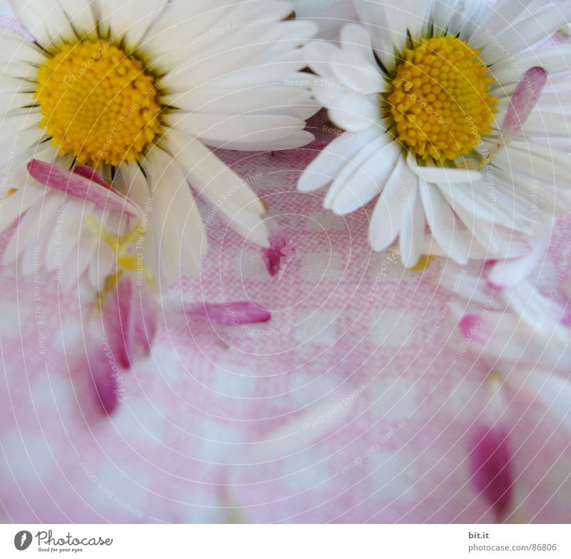 MÄDCHENBLÜMCHEN II Sommer Feste & Feiern Natur Pflanze Frühling Blume Blüte Blühend Duft frisch Kitsch rosa Lebensfreude Frühlingsgefühle Glück Gänseblümchen