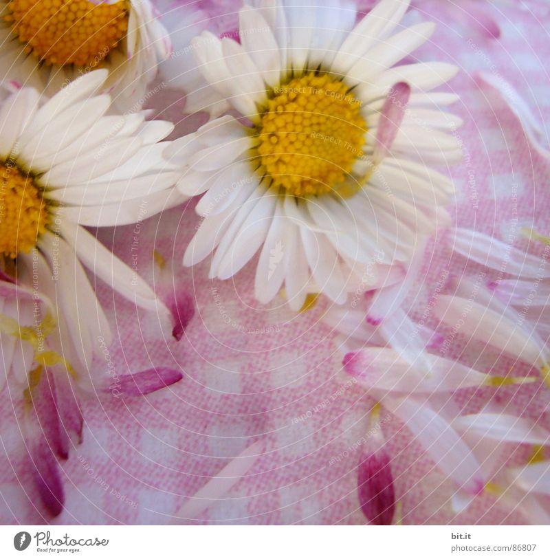 MÄDCHENBLÜMCHEN III Natur Pflanze weiß Sommer Blume Frühling Blüte Feste & Feiern rosa liegen Dekoration & Verzierung frisch genießen Romantik Kitsch nah