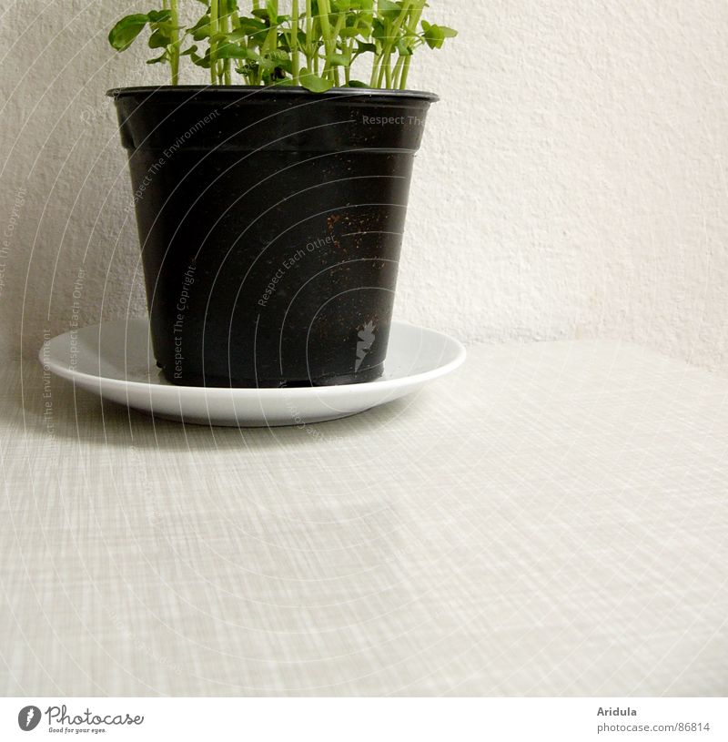 etwas grün an s/w Frühling Ernährung Tisch Küche Gemüse Kräuter & Gewürze lecker Geruch Topf Geschmackssinn aromatisch Basilikum sprießen guter Geschmack