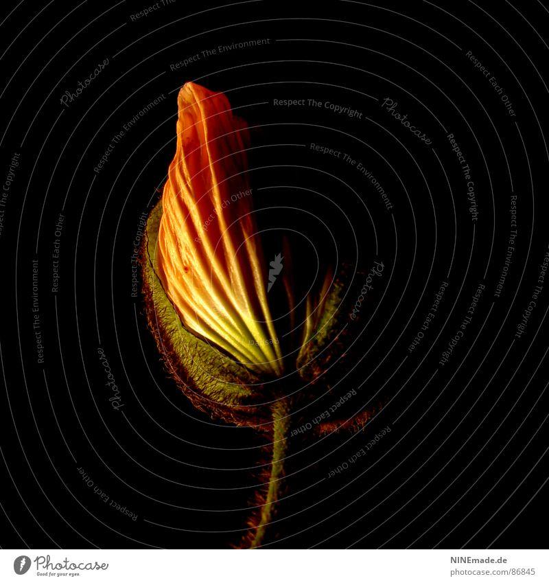 poppy I Mohnblatt Blüte Mohnblüte Ordnung Wellen wellig rot rosa grün zart Blühend platzen geplatzt schwarz Vor dunklem Hintergrund Mitte Quadrat Stengel Leben