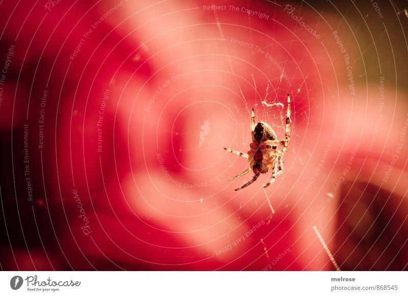 Ich sehe rot! Sommer Schönes Wetter Garten Tier Spinne Spinnennetz Spinnerin spinnen Spinnenbeine beobachten Bewegung entdecken hängen krabbeln nah braun gold