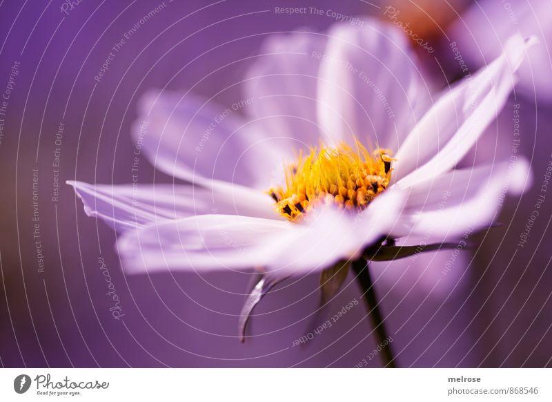 purple dream Natur Sommer Schönes Wetter Pflanze Blume Blatt Blüte Blütenstiel Blütenstempel Gartenpflanzen berühren Blühend entdecken leuchten gelb rosa weiß