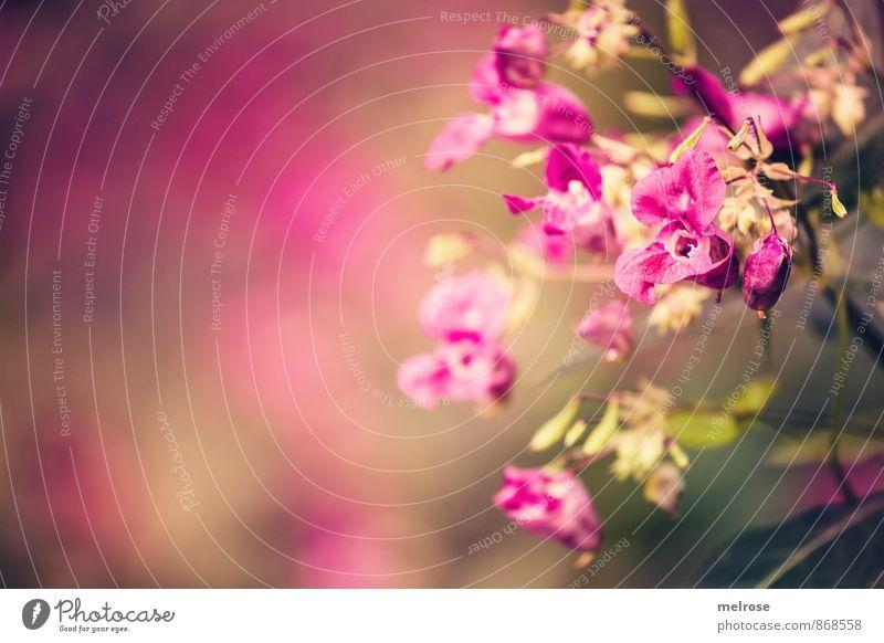 wild pink orchids Natur Pflanze schön grün Sommer Erholung Blume Wald Stimmung braun rosa träumen Feld Wachstum Kraft gold