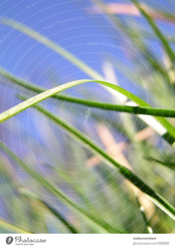 Käferperspektive Gras grün Wachstum Wiese frisch Halm Blühend Jahreszeiten Sommer Frühling Nahaufnahme Kraft Perspektive Naturphänomene Grasnarbe Saison