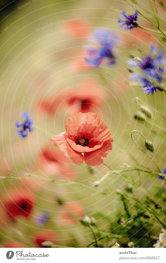 Mohnolog mit Korn Natur blau Pflanze grün Sommer Sonne rot ruhig Freude Umwelt Wärme Blüte Glück Garten Feld frisch